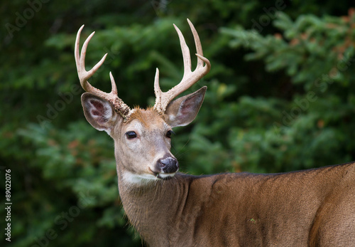 Photo  Closeup of majestic whitetail deer buck framed by dense forest.