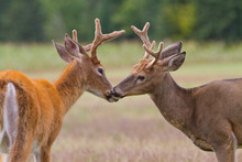Two Whitetail Deer Bucks Touching Noses In An Open Field.
