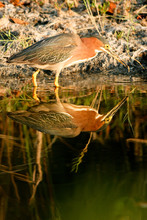 Green Heron Has Caught A Fish ...