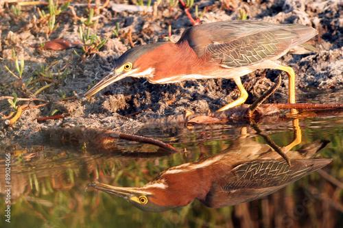 Foto op Aluminium Draken Green Heron has caught a fish in a Louisiana swamp, with full reflection
