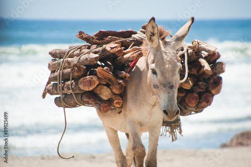 Montage in der Fensternische Esel Packesel trägt Holz am Strand