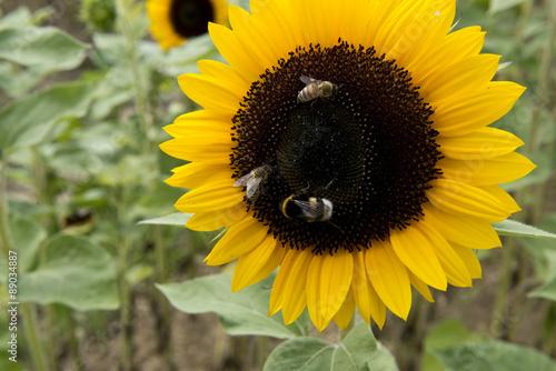In de dag Zonnebloem Sonnenblume mit bienen