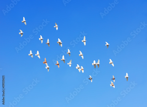 Canvas Print - flock of pigeons flying in blue sky