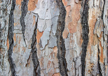 Background / Bark Of A Pine Tree