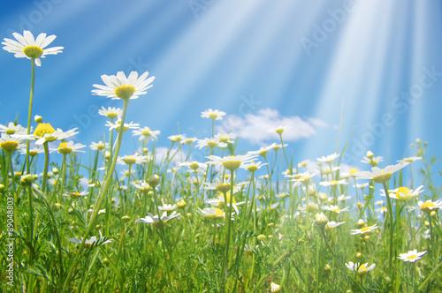 Foto op Plexiglas Landschappen daisy flowers