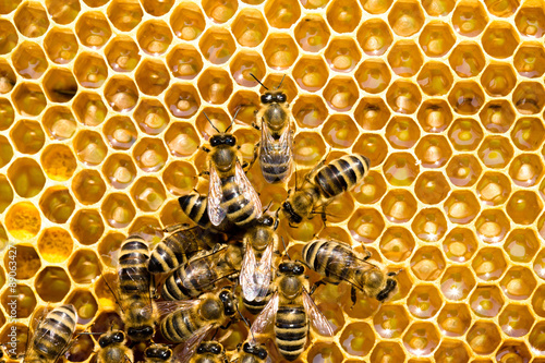 Poster Bee bees on honeycells