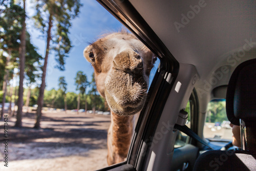 A camel looking in the window of a car