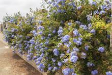 Blue Flowers Plumbago Auricula...
