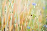 Fototapeta Kwiaty - polne kwiaty z biedronką