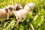 Fototapeta Animals - kociaki w trawie
