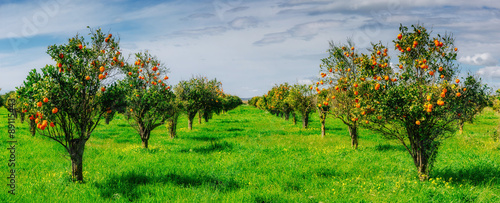 orange trees plantations Fototapet