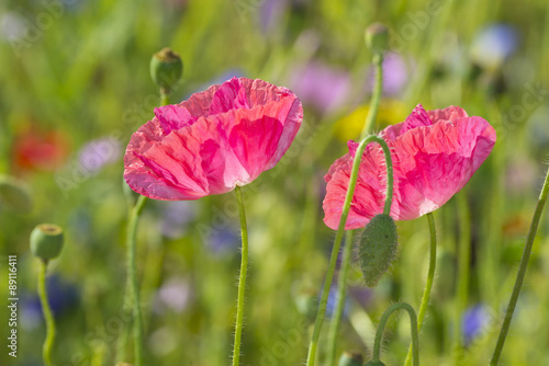 summer meadow with red poppies - 89116411