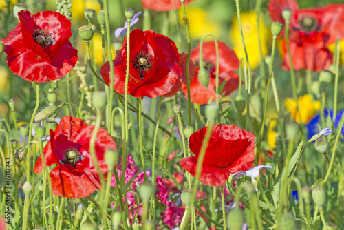 summer meadow with red poppies - 89117243