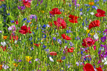 Obraz na Szklesummer meadow with red poppies