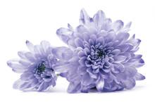 Blue Chrysanthemum Flower On W...