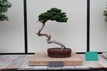 Bonsai Tree- Hinoki False Cypress- Chamaecyparis Obtusa