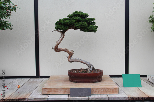 Spoed Foto op Canvas Bonsai Bonsai Tree- Hinoki False Cypress- Chamaecyparis Obtusa