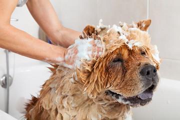Fototapeta Pies Bathroom to a dog chow chow