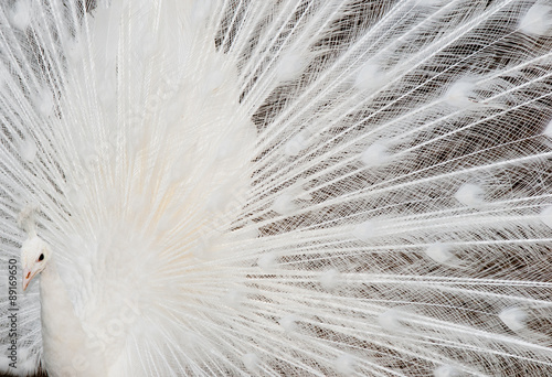 Fotografie, Obraz  white peacock feathers detail