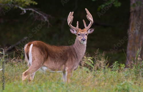 Deurstickers Hert Trophy whitetail deer buck standing in a northern Wisconsin field with deep forest behind.