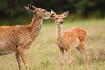 Whitetail Deer Doe Licking Her Fawn