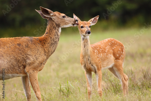 Whitetail Deer Doe Licking Her Fawn Poster