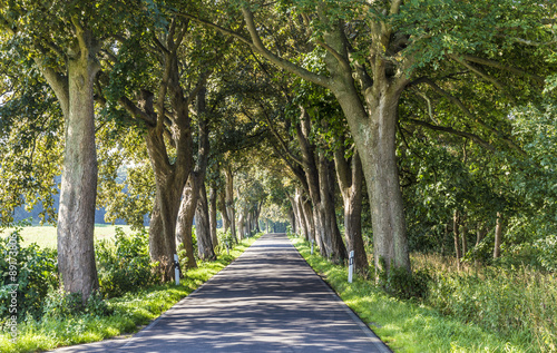 Fotografia alley with old oak trees and old road in Usedom