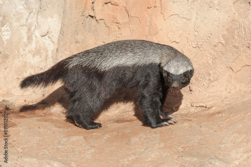 Single honey badger Fototapet
