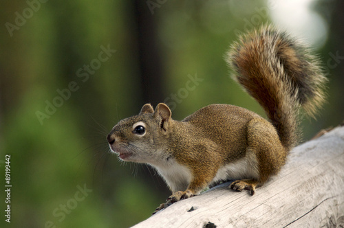 Curious squirrel in Yellowstone National Park