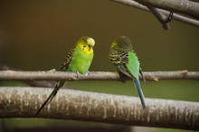 Two Budgerigars On A Branch