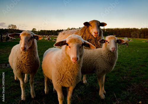Canvas Prints Sheep Schaap met lamm etjes in de avondzon op de Veluwe