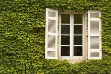 French Window With Shutters. Ivy Completely Covers The Wall Around A French Window While Shutters Provide A Textural Contrast.