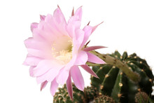 Queen Of The Night Cactus (Sel...