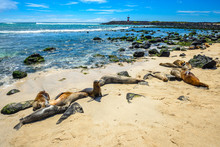 Fur Seals At Punta Carola Beach, Galapagos Islands (Ecuador)
