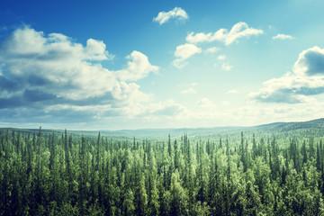 Fototapetafir tree forest in sunny day