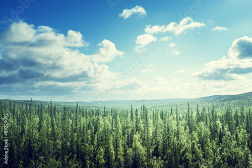 Papiers peints Forets fir tree forest in sunny day