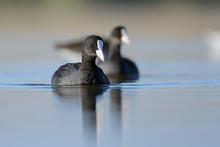 Swimming Coots In The Morning