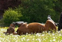 Pferd Wälzt Sich In Blumenwiese