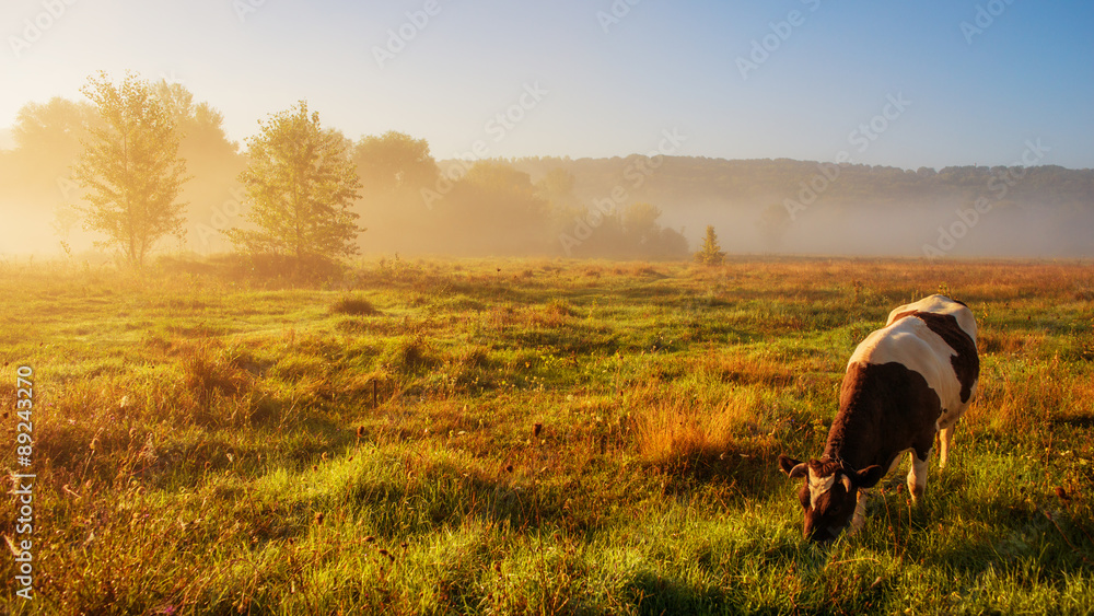 Fototapeta cow grazing