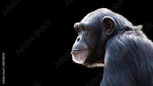 Fotomural close up portrait of a daydreaming chimpanzee on a black background