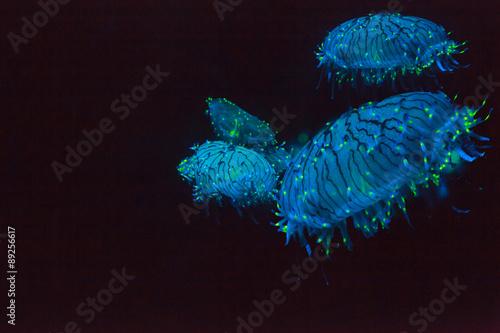 Fotografie, Obraz  Flower hat medúzy, Olindias Formosa, je modrá, zelená, růžová - více barevné želé - které lze nalézt mimo jižní Japonsko