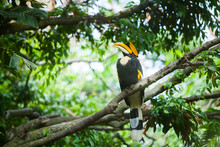 Great Hornbill (Buceros Bicorn...