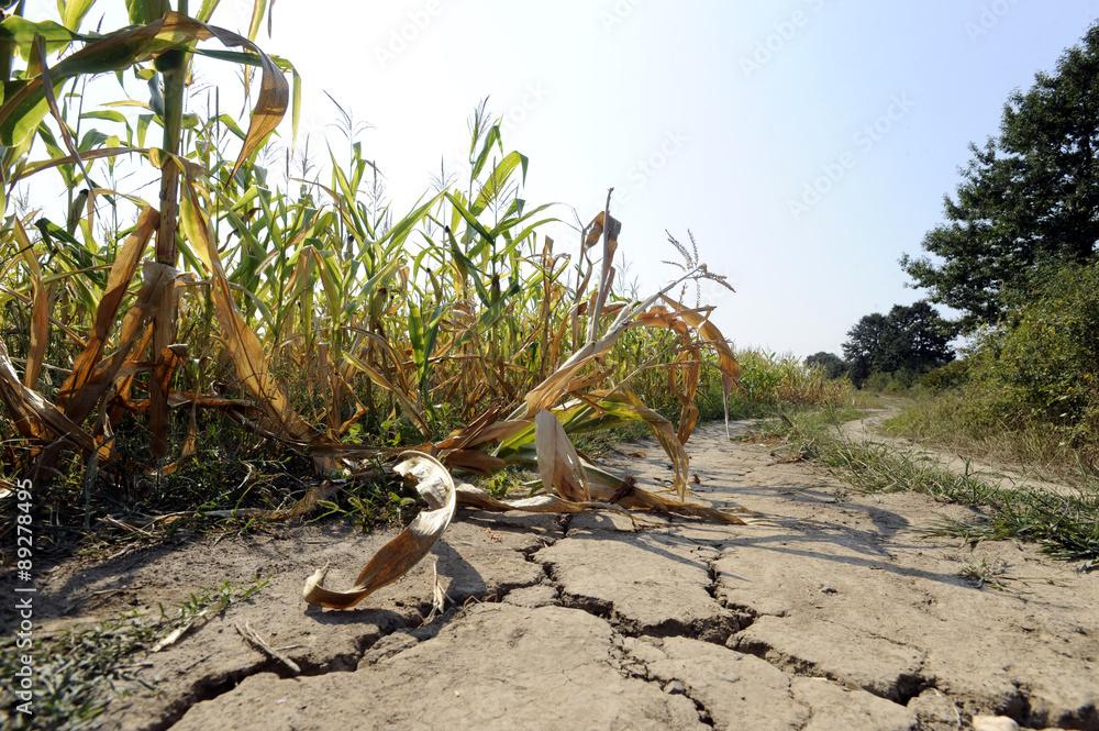 Fototapeta Drought at corn field