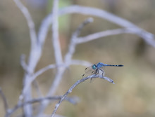 Spot-tailed Dasher (Micrathyria Aequalis ) Dragonfly On Branch I