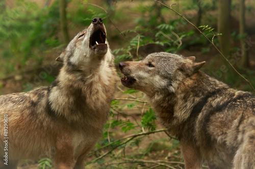 Foto op Canvas Wolf Heulende Wölfe