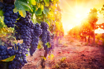 Fototapeta Do winiarni vineyard with ripe grapes in countryside at sunset
