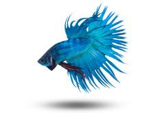 Siam Fighting Fish On Black, Betta Fish
