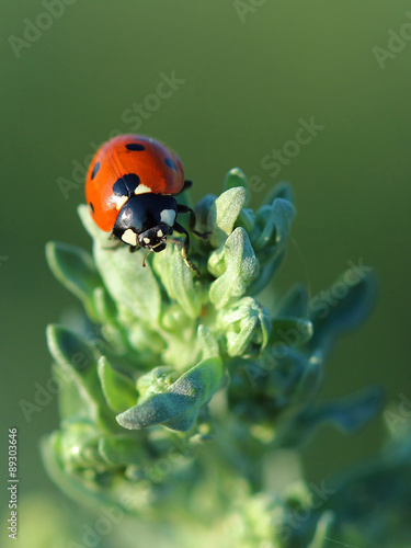 Ladybird on leaves absinthe wormwood