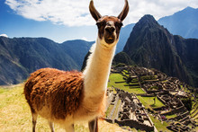 Lama At Machu Picchu, Incas Ruins In The Peruvian Andes At Cuzco