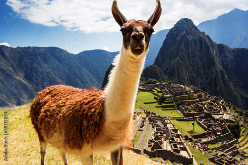 Fotobehang Lama Lama at Machu Picchu, Incas ruins in the peruvian Andes at Cuzco